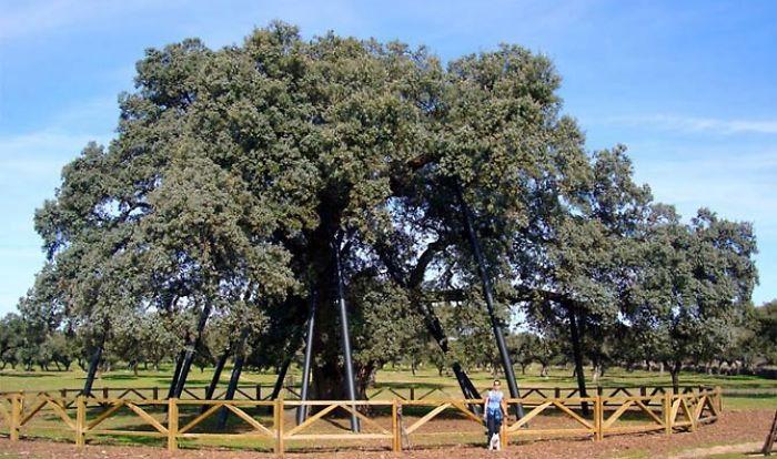 Encina La Terrona, Extremadura (spain)