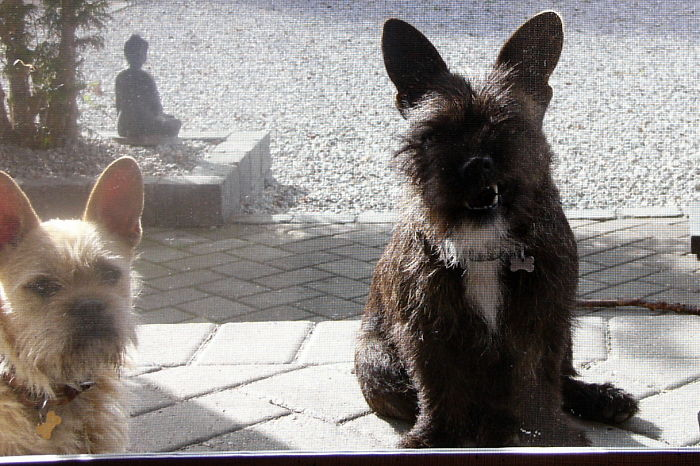 Cairn Terrier And French Bulldog, Cute Og Clever Dog's.