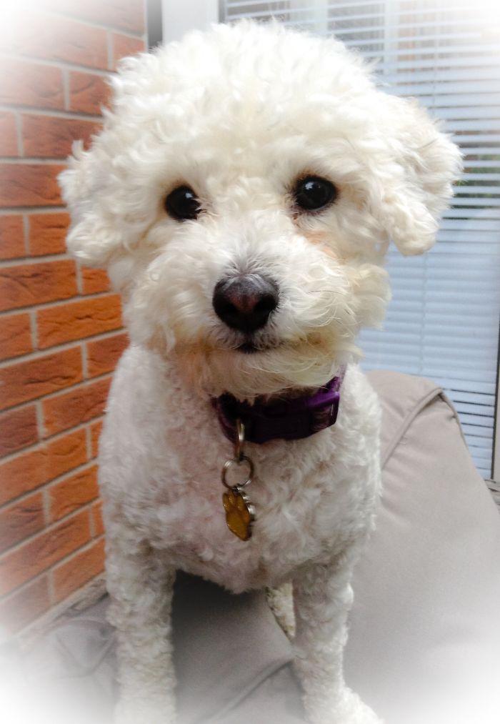 Poochon (poodle X Bichon) Name – Wee Jenny Mckechnie