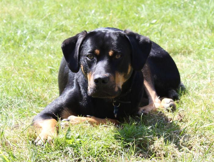 Labrador, Golden Retriver And Rottweiler Mix