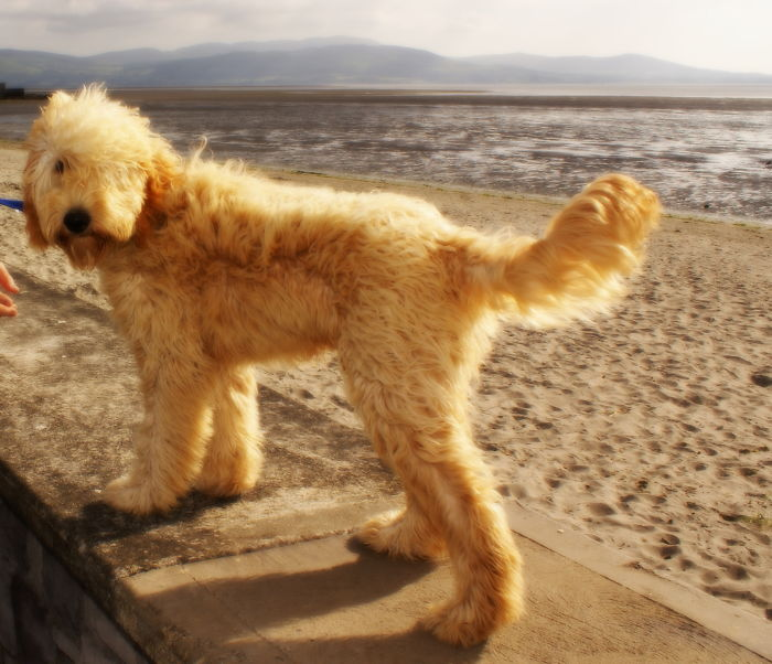 Irish Doodle (irish Red Setter X Poodle)