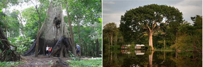 Sumauma - Considered The Queen Tree Of The Amazon