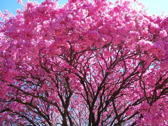 Lapacho Tree - Paraguay