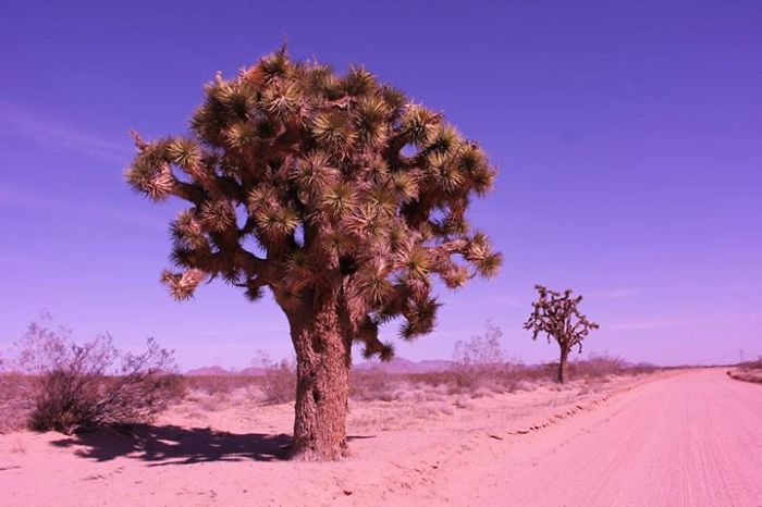 Joshua Trees, Endemic To The Mojave Desert. These Are Growing Near Fort Irwin Ntc, California.