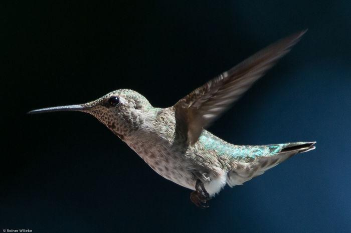 Anna's Hummingbird, Victoria Bc Canada July 2014