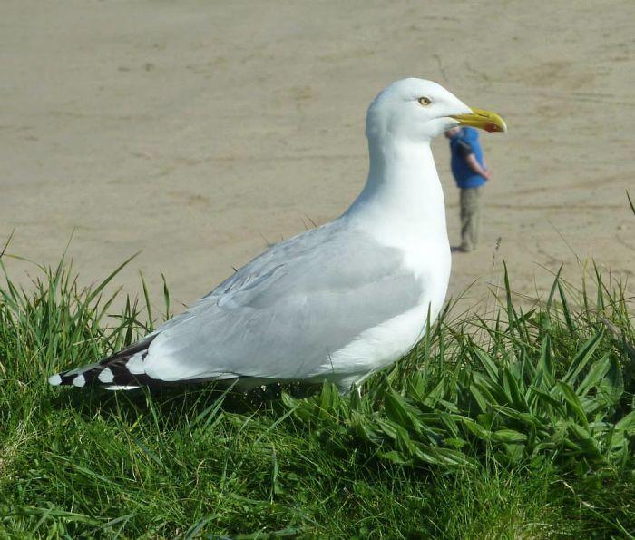 Giant Man-eating Sea Gull