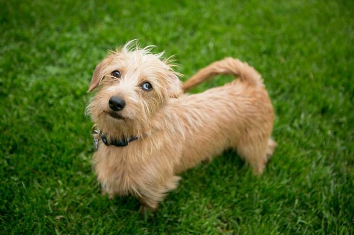 Dauschund + Terrier = Bert.