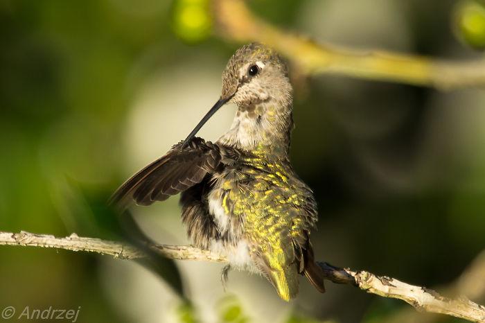Anna's Hummingbird,north Vancouver Bc