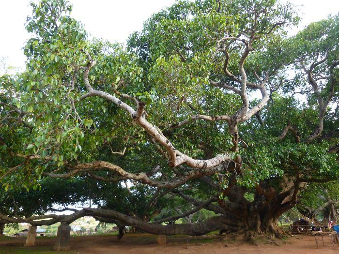 Myanmar Tree