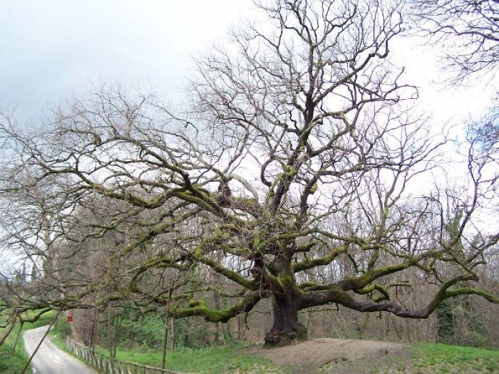 Oak Tree Near Lucca -tuscany -italy - He Has More Than 8 Hundred Years