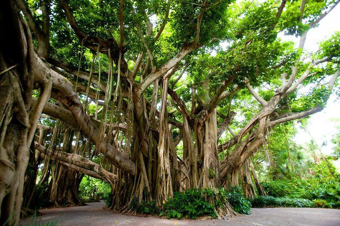 The Banyan Tree, Cypress Gardens, Fl
