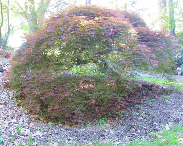 Japanese Maple. Rochester N.y.