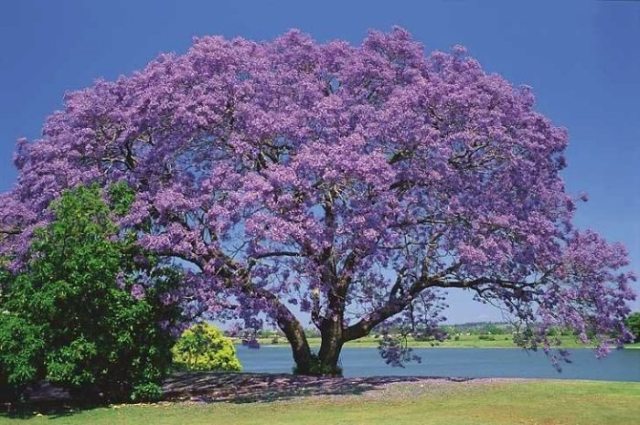 Purple-ipê, Brazil