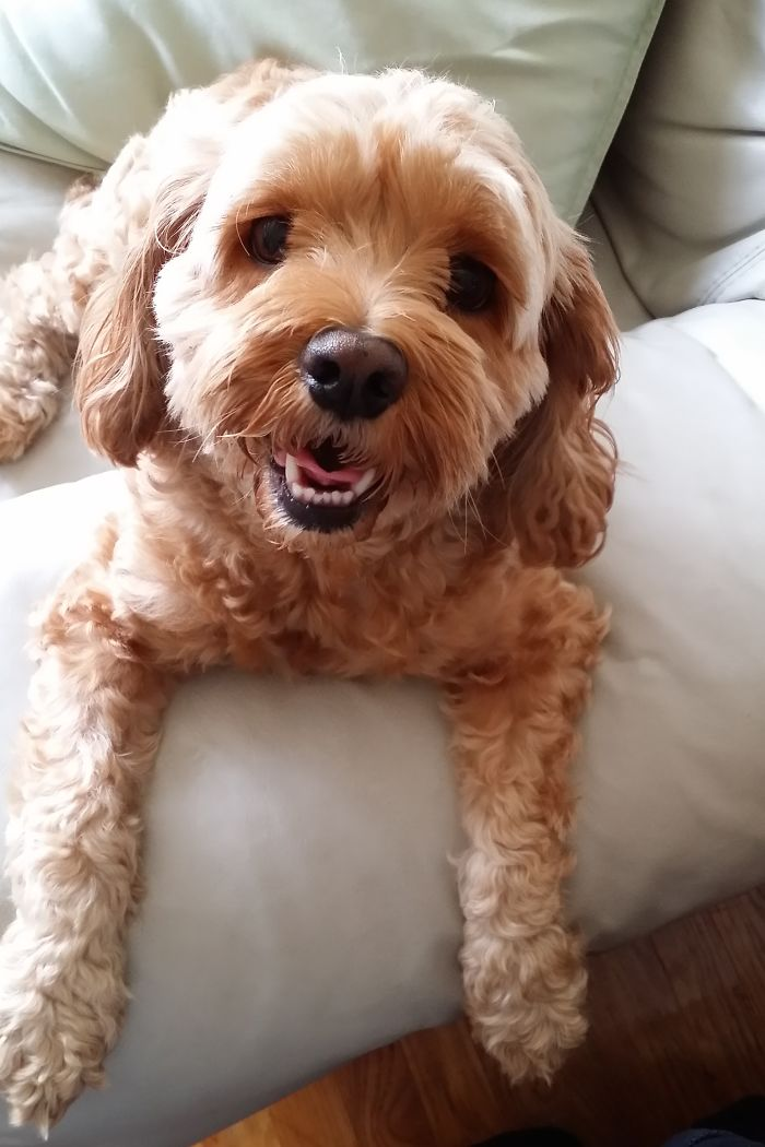 Cockapoo - Cocker Spaniel/poodle