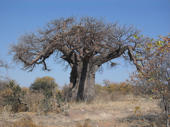 African Baobab, Mussina, South Africa