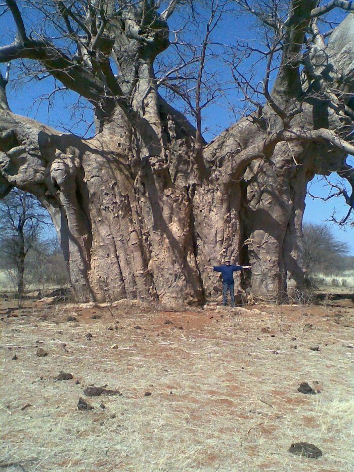 Young Baobab Tree