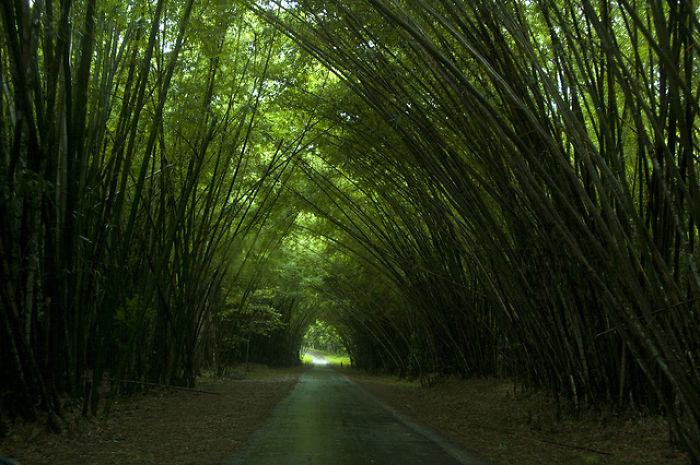 Bamboo Catherdral, Trinidad