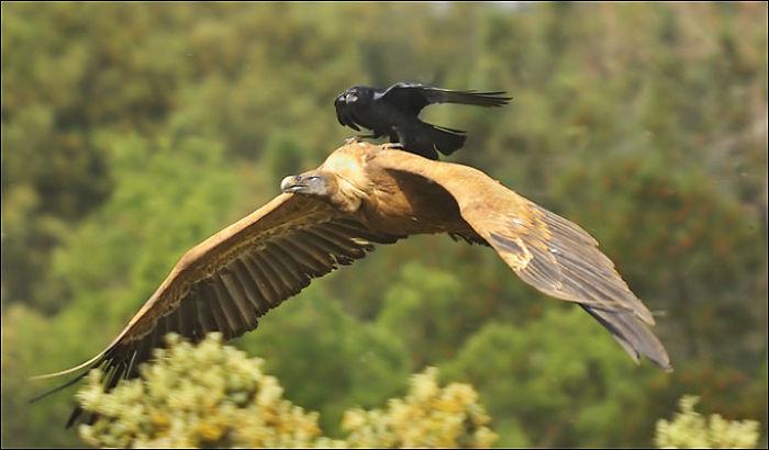 Vulture 2.0 In Spain