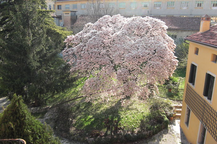 Blossoming Magnolia, Vittorio Veneto, Italy