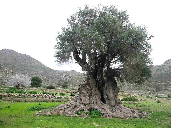 1000+ Year Old Olive Tree On Greek Isle Of Aegina.
