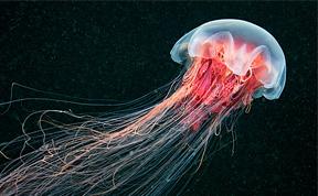 Amazing Jellyfish Photos by Alexander Semenov