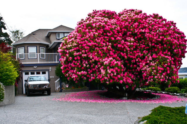 Amazing 125+ Year Old Rhododendron Tree in Ladysmith, British Columbia, Canada