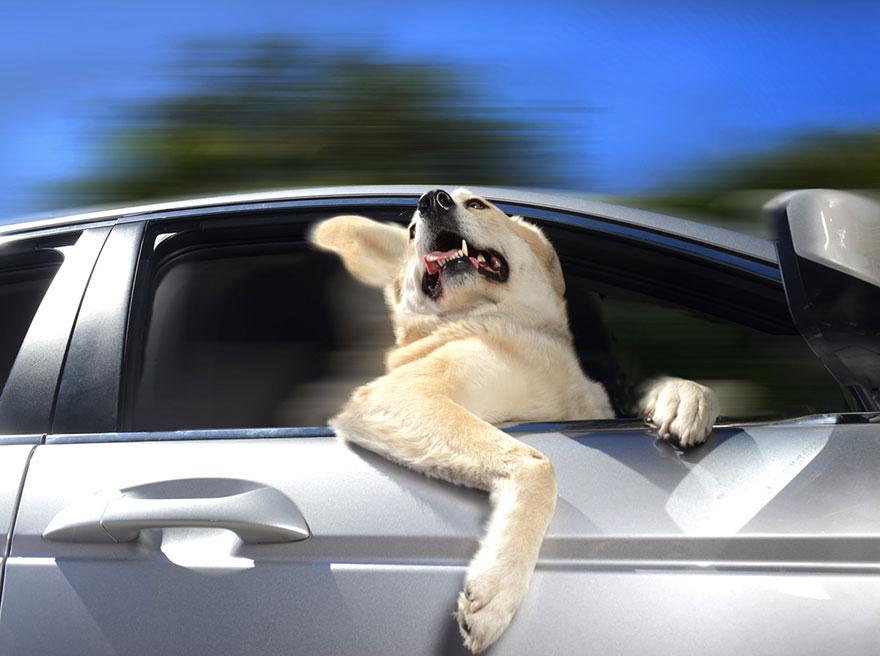funny-dogs-in-cars-lara-jo-regan-1