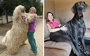 12+ Dogs Who Don't Understand How BIG They Are