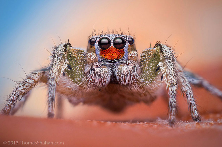 jumping-spiders-macro-photography-thomas-shahan-11