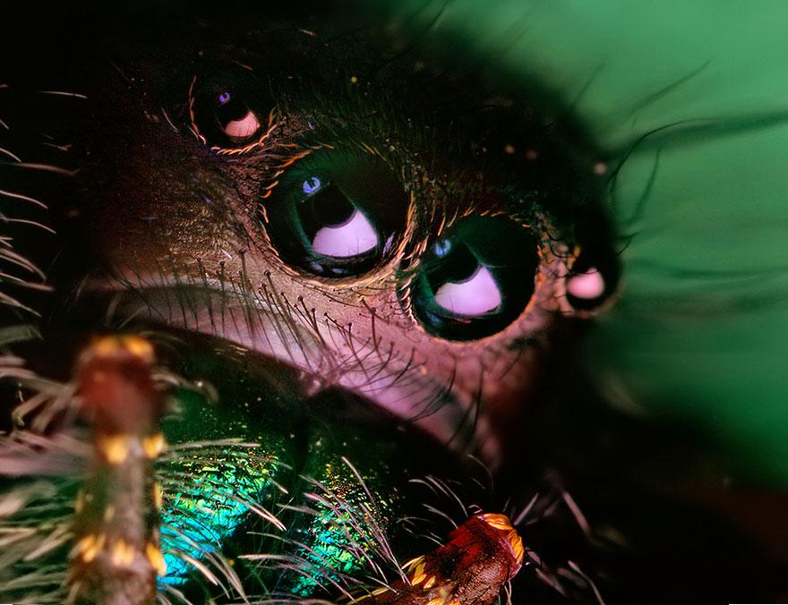 jumping-spiders-macro-photography-thomas-shahan-15