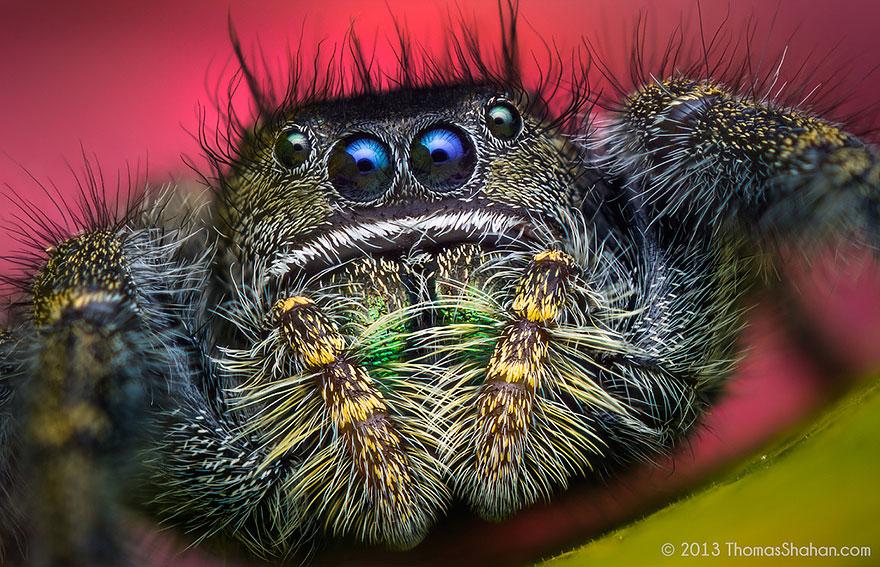jumping-spiders-macro-photography-thomas-shahan-19