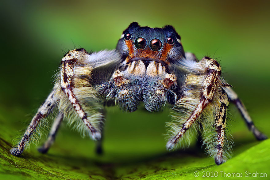 Macro Photos Of Cute And Cuddly Jumping Spiders by Thomas Shahan ...