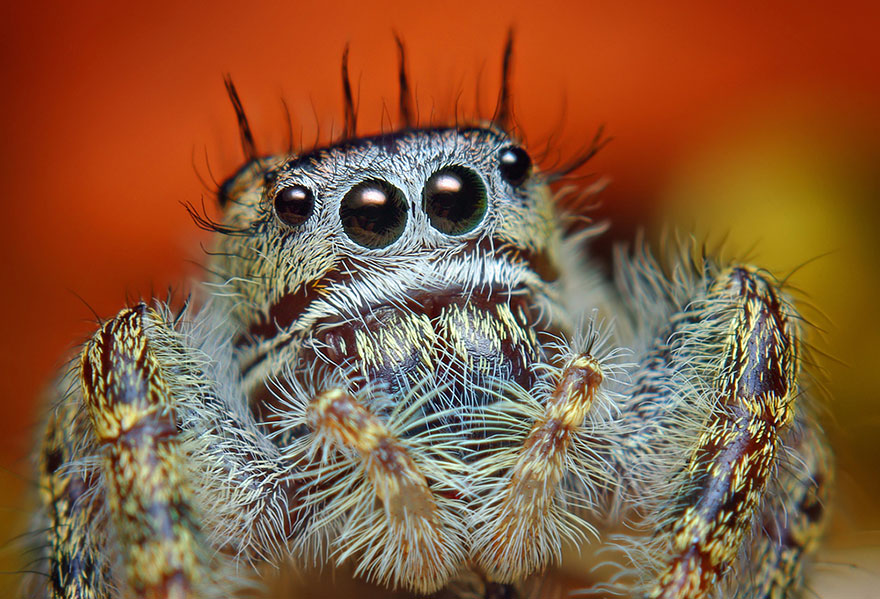 jumping-spiders-macro-photography-thomas-shahan-5