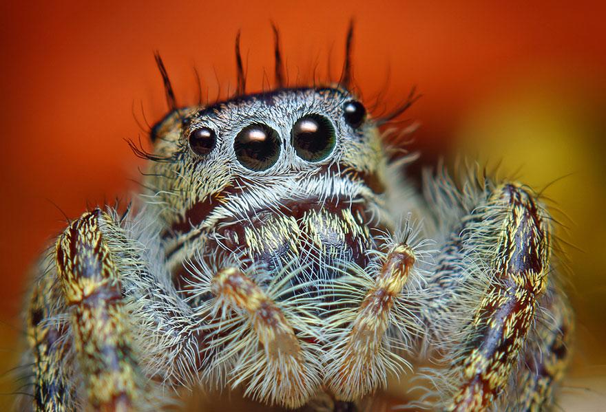 jumping-spiders-macro-photography-thomas-shahan-5