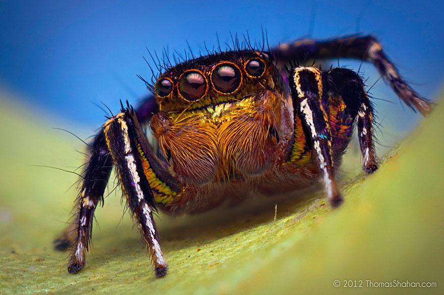 jumping-spiders-macro-photography-thomas-shahan-7