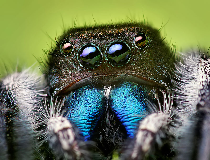 jumping-spiders-macro-photography-thomas-shahan-8