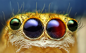 Macro Photos Of Cute And Cuddly Jumping Spiders by Thomas Shahan