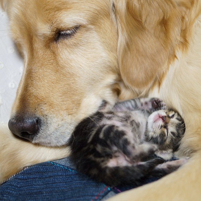 kitten-rescued-golden-retriever-ichimi-ponzu-jessiepon-1