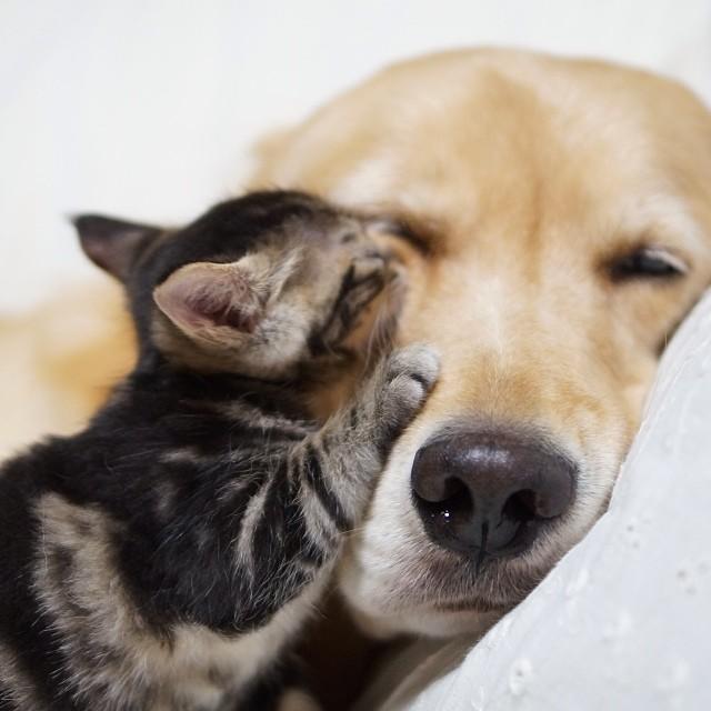 kitten-rescued-golden-retriever-ichimi-ponzu-jessiepon-10