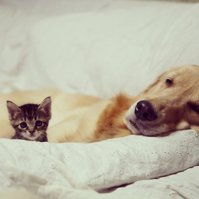 Golden Retriever Adopts an Orphan Kitten Abandoned By Her Mom