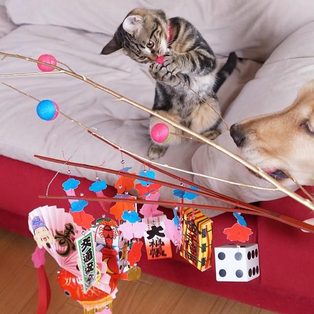 kitten-rescued-golden-retriever-ichimi-ponzu-jessiepon-8