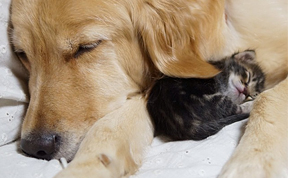Golden Retriever Adopts an Orphan Kitten Rejected By Her Mother