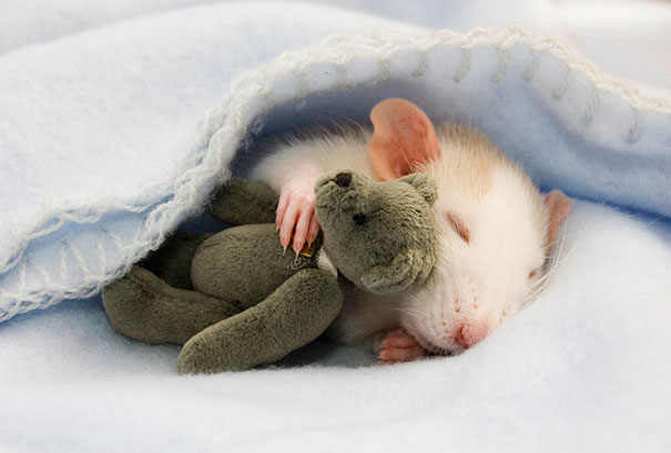 rats-with-teddy-bears-jessica-florence-1