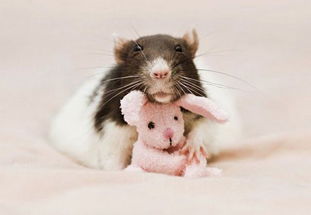 rats-with-teddy-bears-jessica-florence-4