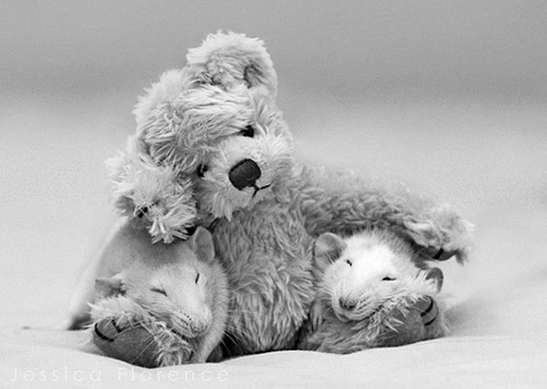 rats-with-teddy-bears-jessica-florence-9