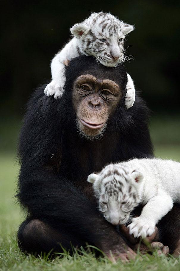 animal unusual friendships tiger heart chimpanzee friendship melt anjana cubs