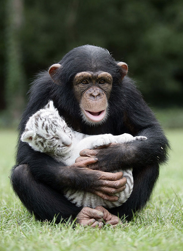 Image of: Cute 15 Anjana The Chimpanzee And Tiger Cubs Facebook 15 Unusual Animal Friendships That Will Melt Your Heart Bored Panda