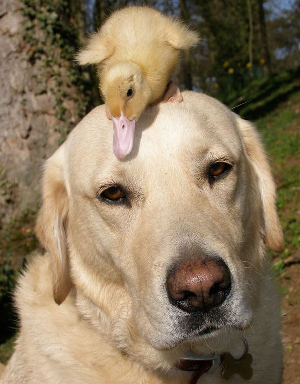 5 Fred The Labrador And Dennis Duckling