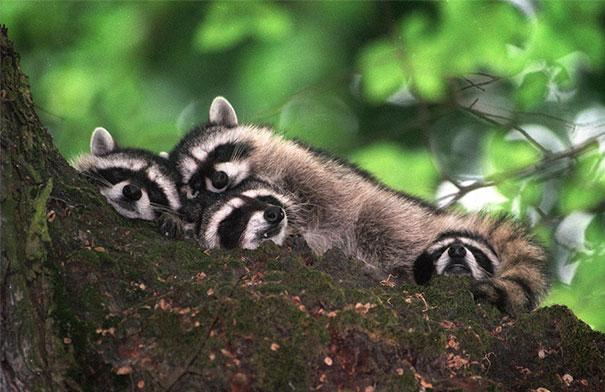 cute-animals-sleeping-pillows-11