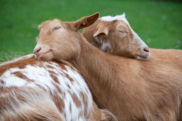 cute-animals-sleeping-pillows-26